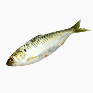 Gizzard shad (raw)